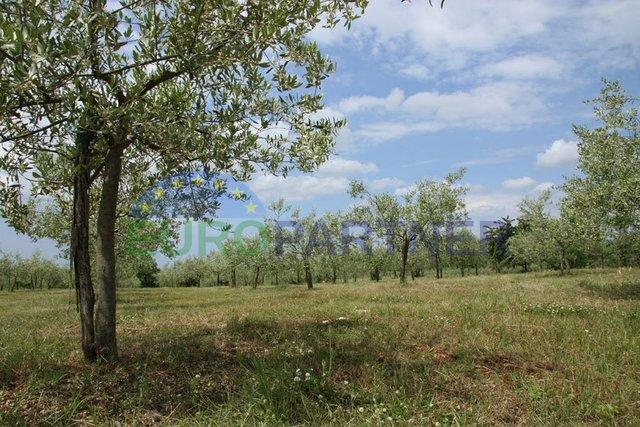 Uređeni Maslinik s 147 stabala maslina