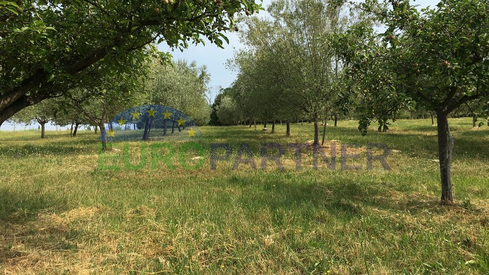 Olive Grove with healthy olive woods