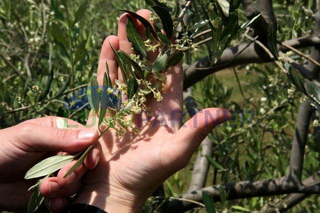 Großer Olivenhain unweit der Stadt